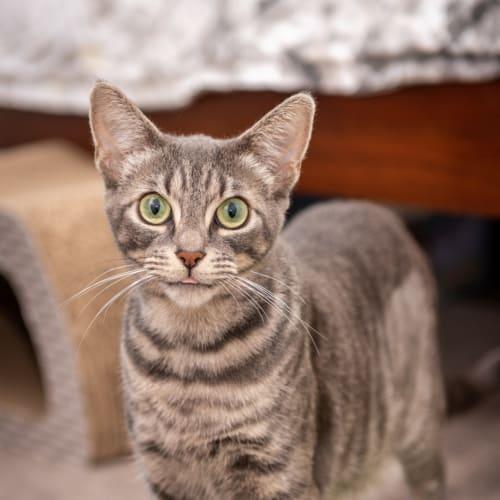 1358 - Georgia - Domestic Short Hair Cat