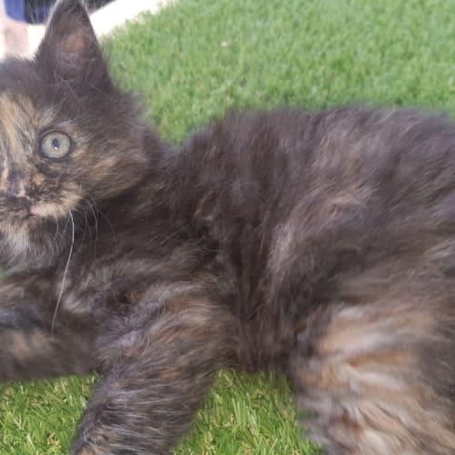 Prue - Domestic Medium Hair Cat