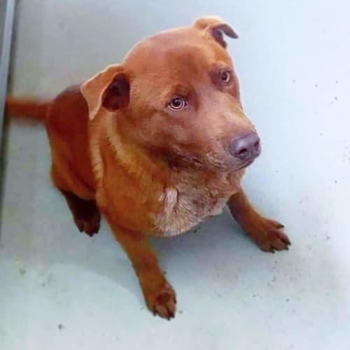 Archie  - Labrador Dog