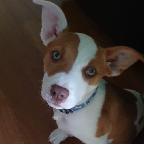 Simona - Staffordshire Bull Terrier x Koolie Dog