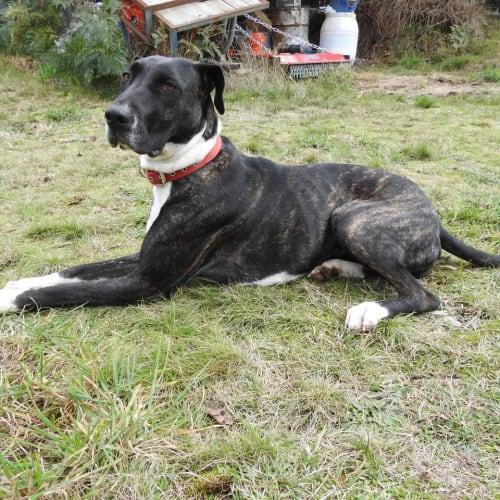 Ava - Bull Arab x Great Dane Dog