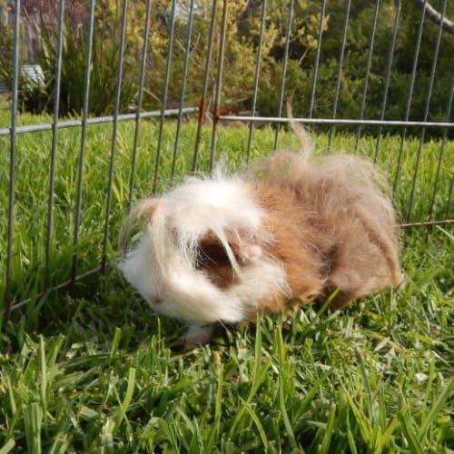 Molly - Guinea Pig