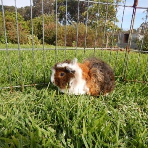 Sally - Guinea Pig