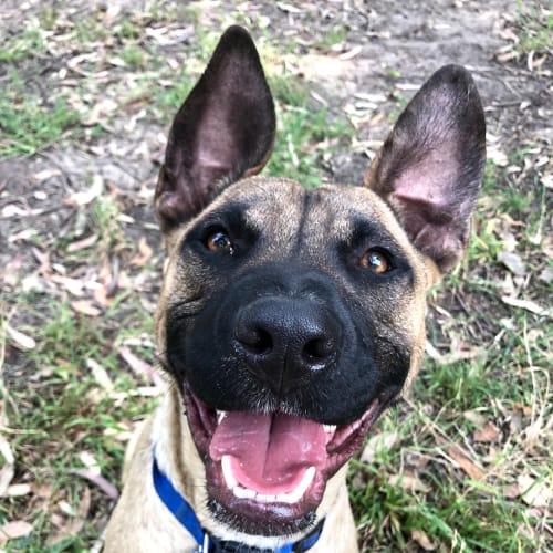 Hank ~ 8 month old Staffy X  - Staffy Dog
