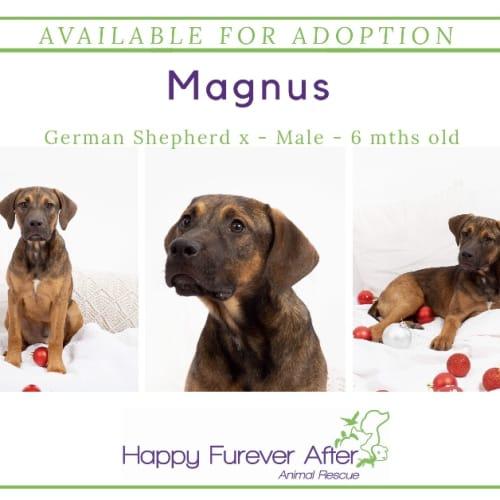 Magnus - German Shepherd Dog