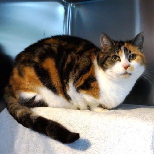 Puddy - Domestic Short Hair Cat