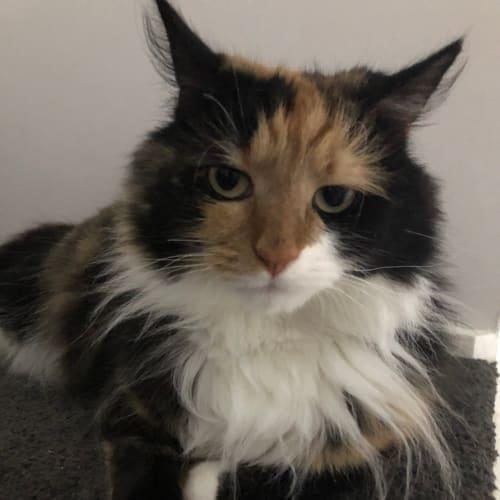 Fluffy - Persian Cat