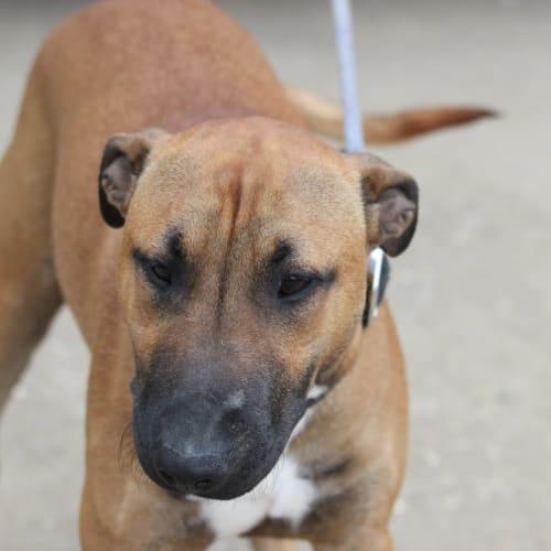 stark - Bull Terrier Dog