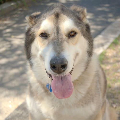 Esky & Lulu - Siberian Husky Dog