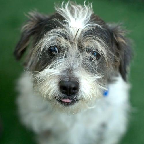 Millie and Charlie - Maltese Dog