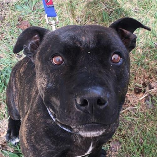 Bobby - Staffordshire Bull Terrier Dog