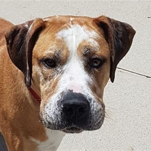 Koda - Bullmastiff x Great Dane Dog