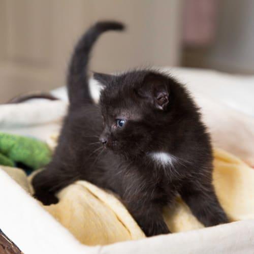 Mac ~ 8 week old kitten - Domestic Short Hair Cat
