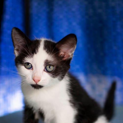 Euro - Domestic Short Hair Cat