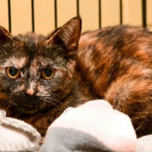 1636 - Tilly - Domestic Short Hair Cat