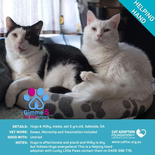 Hugo and Milky - Domestic Short Hair Cat