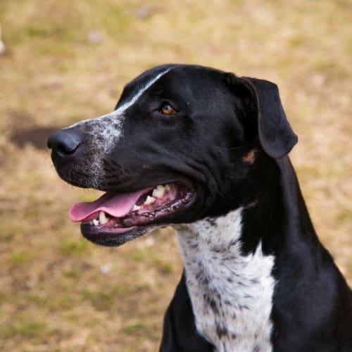 Max - Bull Arab x Bullmastiff Dog