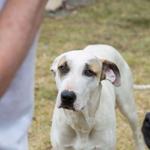 Sunny - Bull Terrier Dog