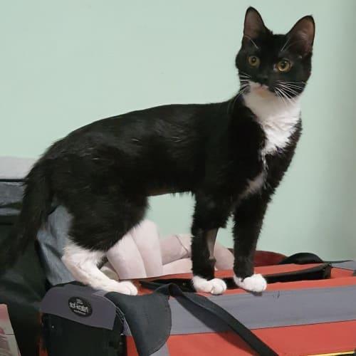 Nova - Located in Reservoir - Domestic Short Hair Cat