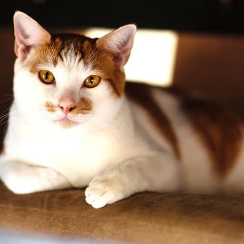 425 - Junior - Domestic Short Hair Cat