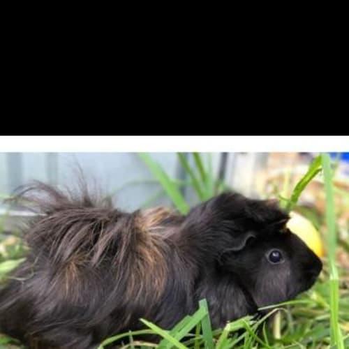 Slinky - Guinea Pig