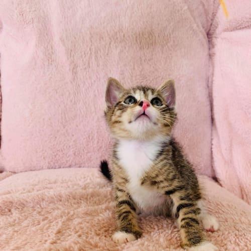 Tigger ~ 7 week old Kitten - Domestic Short Hair Cat