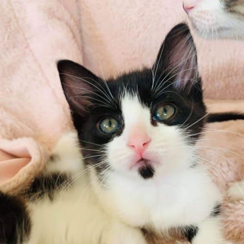 Pickle ~ 7 week old kitten - Domestic Short Hair Cat