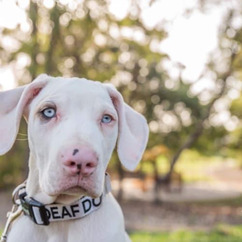 Bert - Great Dane x Bull Arab Dog