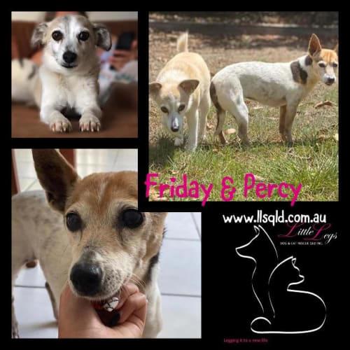 Friday / Percy - Mixed Breed Dog