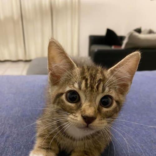 Pringle - Domestic Short Hair Cat