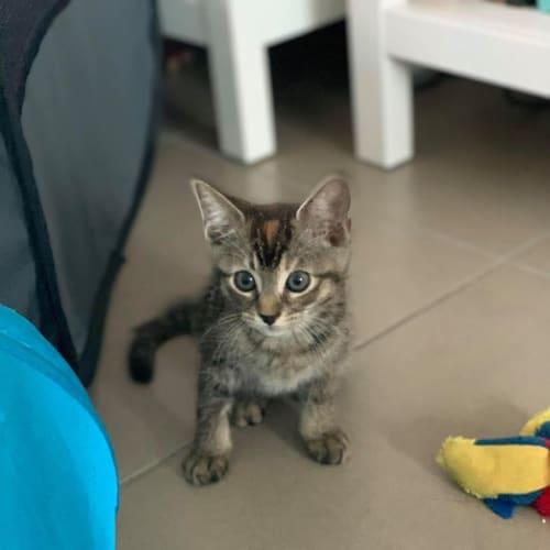 Kettle - Domestic Short Hair Cat