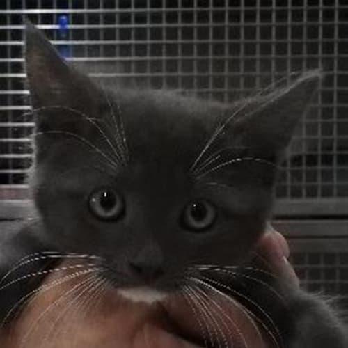 Asher - Domestic Short Hair Cat