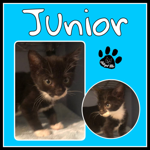 Junior - Domestic Short Hair Cat
