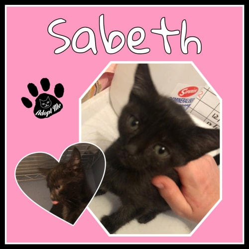 Sabeth - Domestic Short Hair Cat