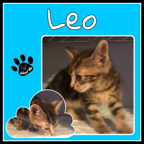 Leo - Domestic Medium Hair Cat
