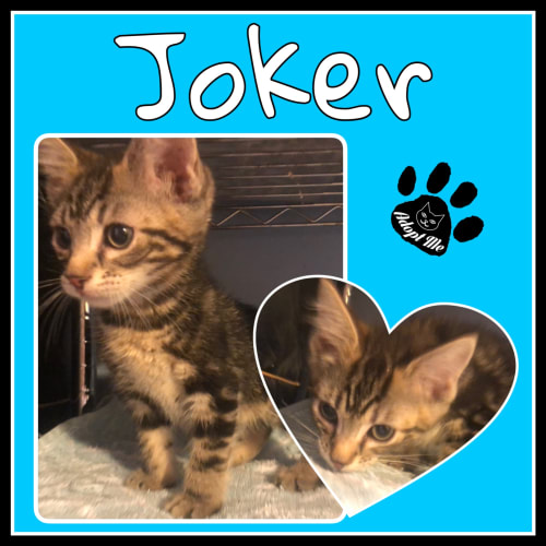 Joker - Domestic Medium Hair Cat