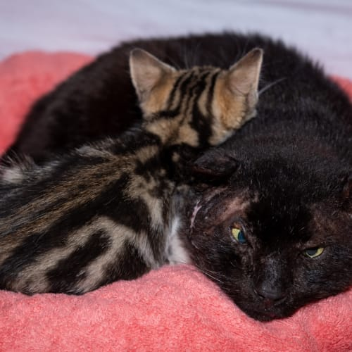 1430 - Alastor Moody - Domestic Short Hair Cat