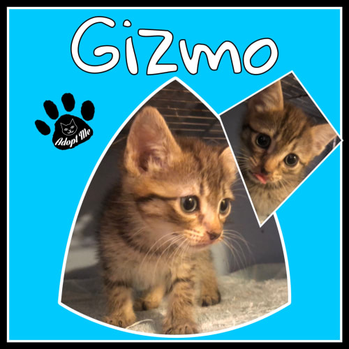 Gizmo - Domestic Medium Hair Cat