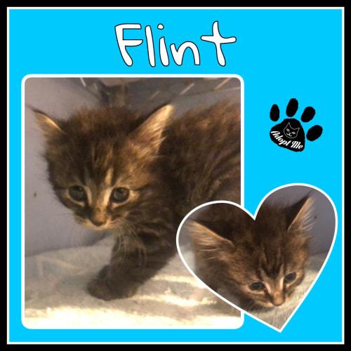 Flint - Domestic Long Hair Cat
