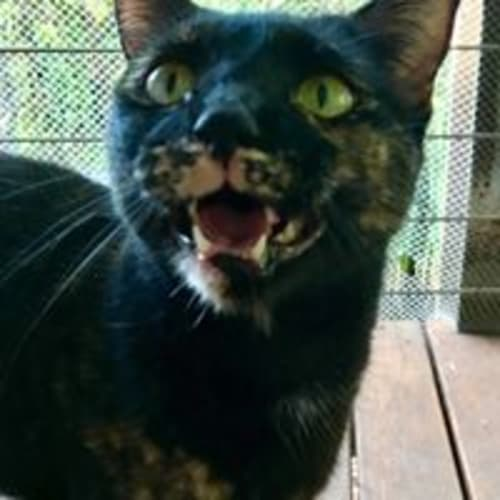 Miss Tabitha - Domestic Short Hair Cat