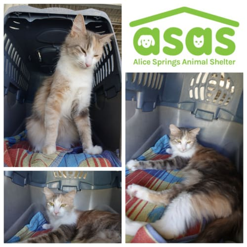 Nooshy  CT19-355 - Domestic Medium Hair Cat