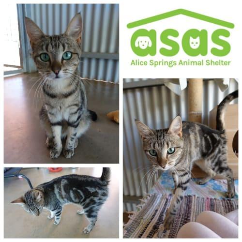 Misty  CT19-340 - Domestic Short Hair Cat