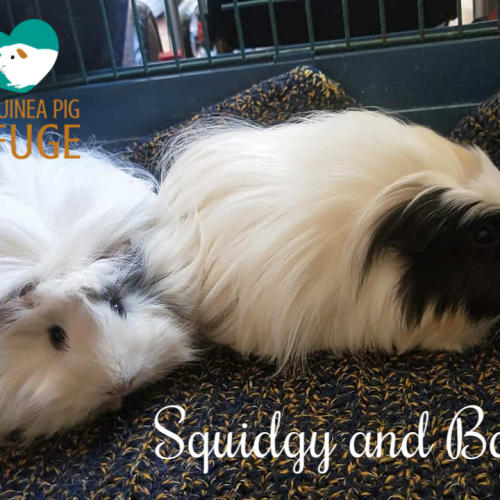 Squidgy and Baby (indoor home only) - Sheltie x Abyssinian Guinea Pig