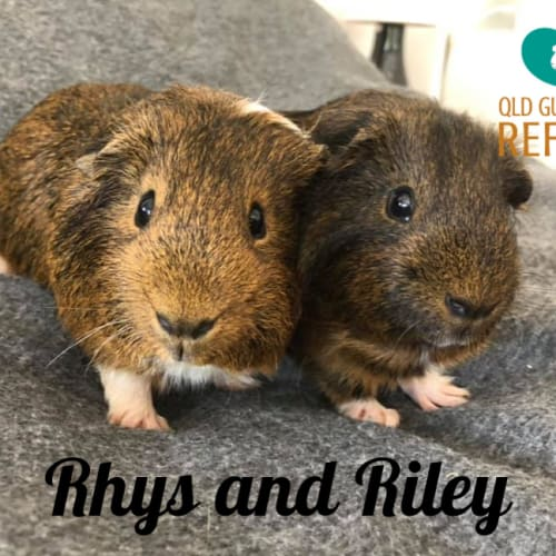Rhys and Riley - Smooth Hair Guinea Pig