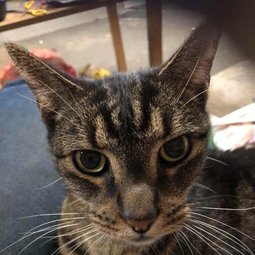 Lucky - Domestic Short Hair Cat