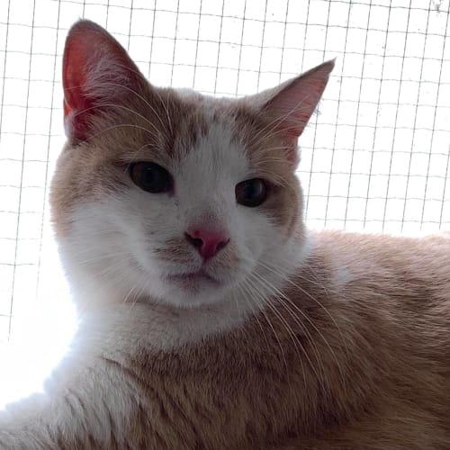 Winston - Meet me at Neko HQ in Preston - Domestic Short Hair Cat