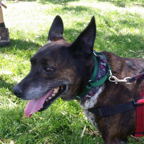 Buster - Australian Cattledog