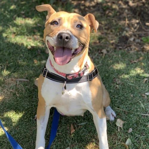Sally - Staffordshire Bull Terrier Dog