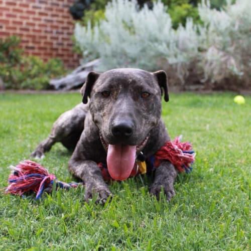 Happy D0080 - Staffordshire Bull Terrier Dog