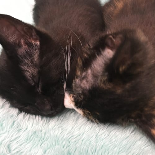 Kody and Pekoe - Domestic Short Hair Cat